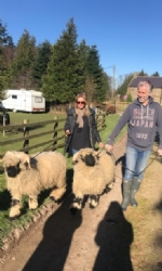 Valais Sheep Walking